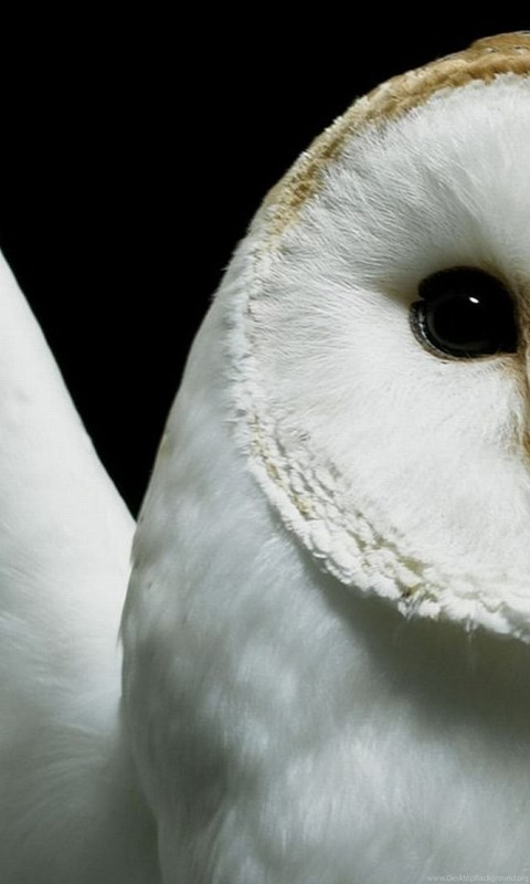This image has an empty alt attribute; its file name is barn.owl_.lefteye.jpg